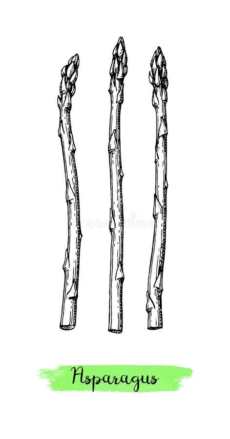Atramentu nakreślenie asparagus ilustracja wektor