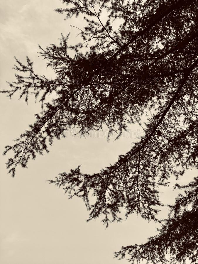 Atramentu obraz cedrowymi liśćmi zdjęcie royalty free