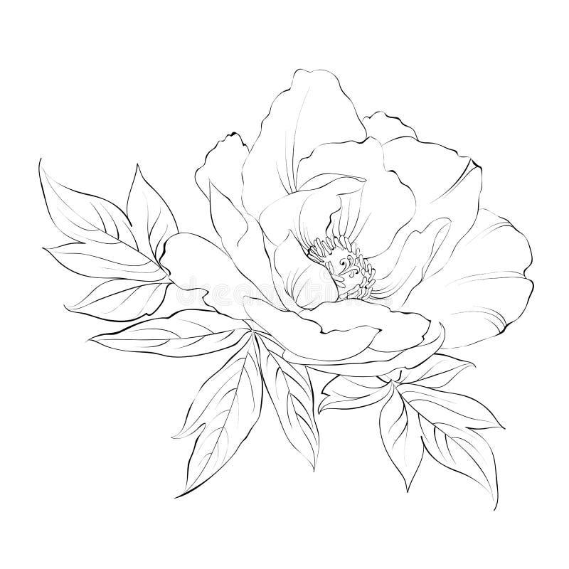 Atramentu obraz odizolowywający na bielu peonia ilustracji