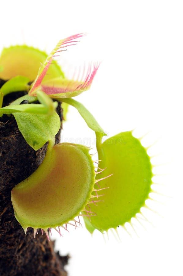 Atrapamoscas de Venus imagen de archivo libre de regalías