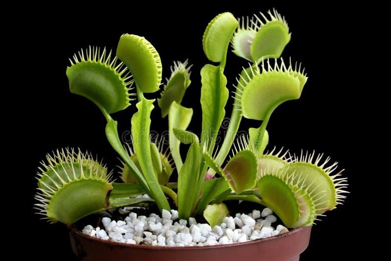 Atrapamoscas de Venus (muscipula del Dionaea - pl carnívoros) foto de archivo