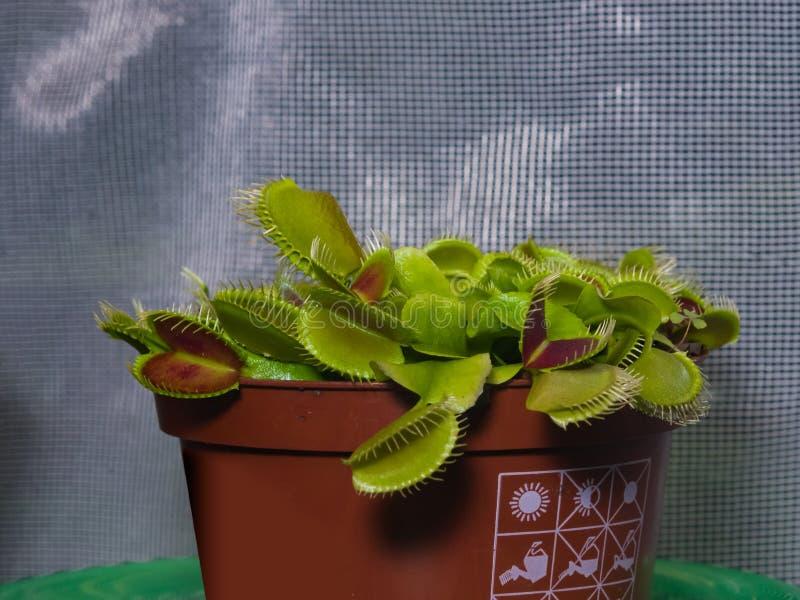Atrapamoscas de Venus o planta carnívora del muscipula del Dionaea en el primer de la maceta, foco selectivo, DOF bajo imagen de archivo