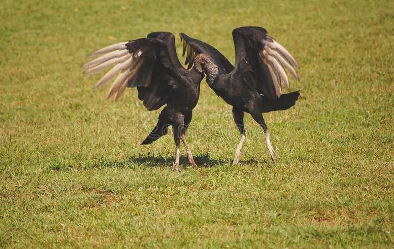 atratus black coragyps mating two vultures 库存照片