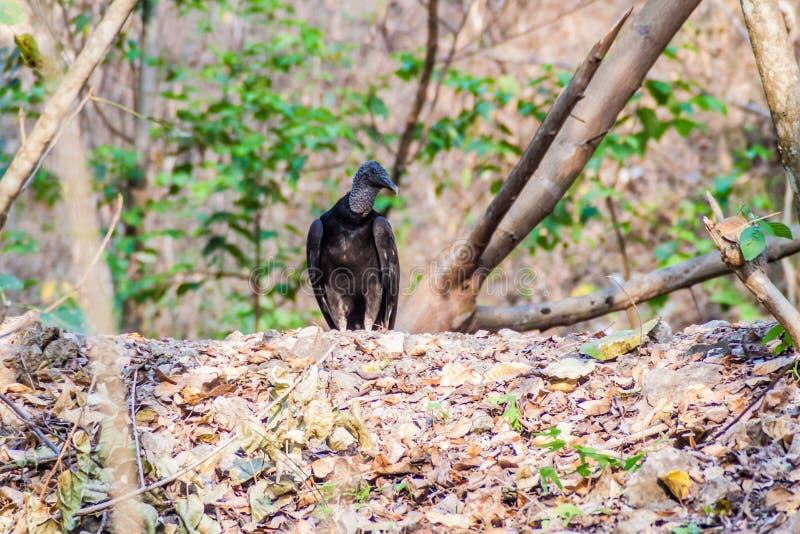 Atratus del Coragyps dell'avvoltoio nero in Guatema fotografia stock libera da diritti