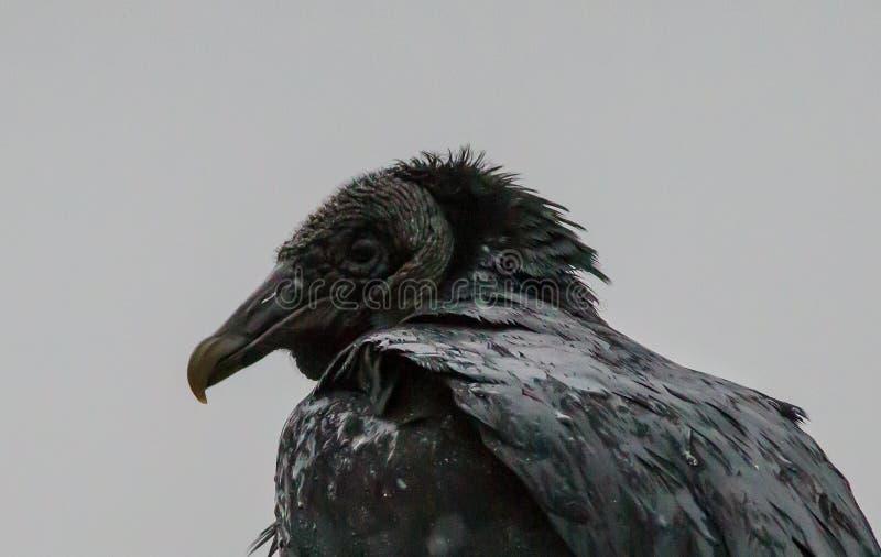 Atratus del Coragyps dell'avvoltoio nero fotografia stock libera da diritti