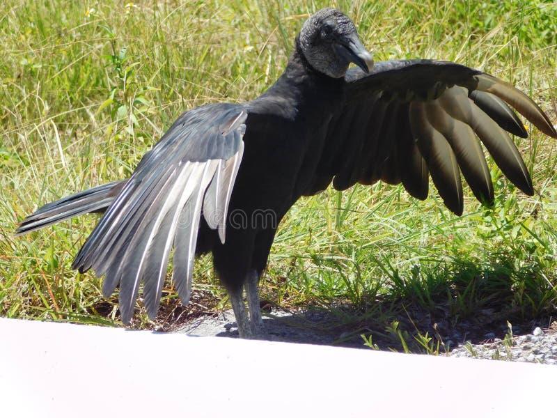 Atratus do Coragyps do abutre preto nos marismas, Florida, EUA foto de stock