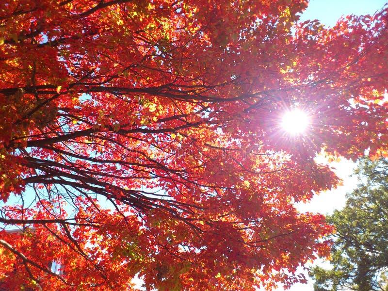 Através das folhas vermelhas imagens de stock royalty free