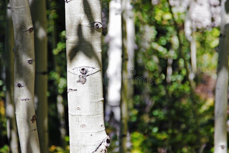 Através de Aspen Grove imagens de stock