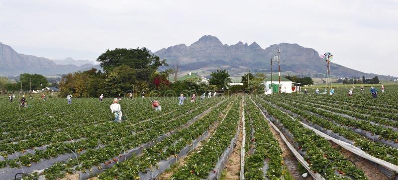 Atrawberry Bauernhof stockfoto