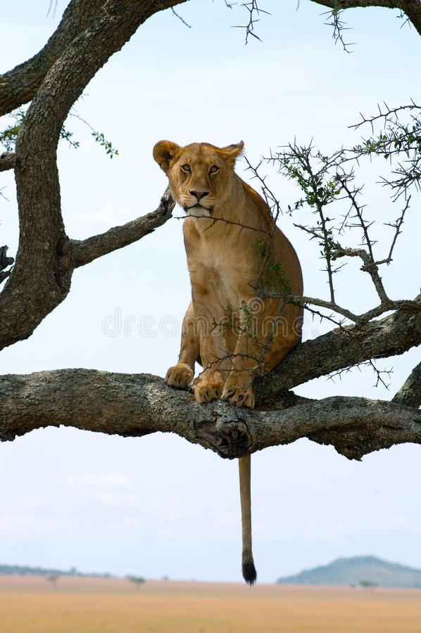Atrevimiento de la leona imagenes de archivo