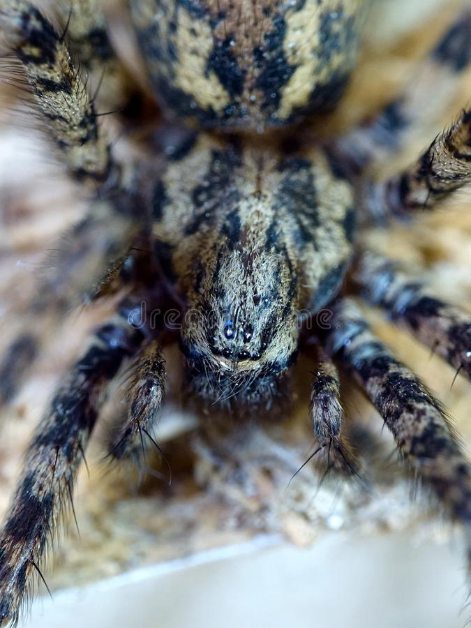 Atrica gigante de Eratigena de la araña de la casa imágenes de archivo libres de regalías