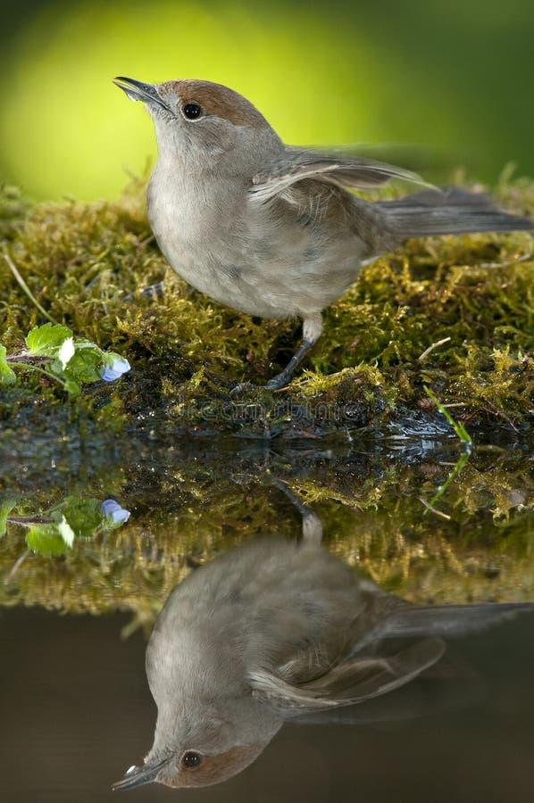 Atricapilla Сильвия Blackcap, питьевая вода со своим отражением стоковое изображение rf