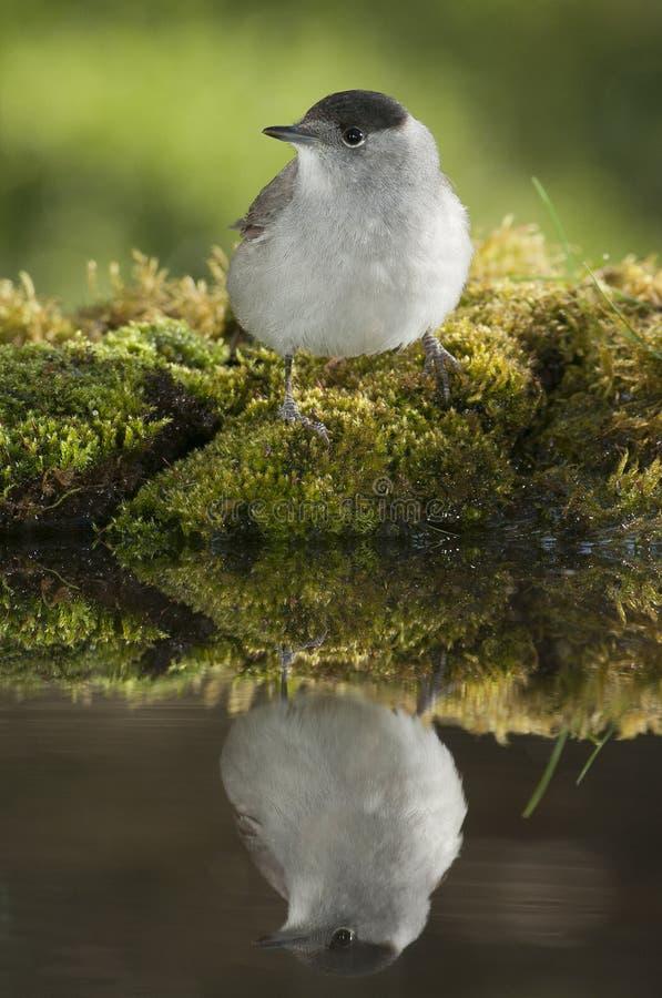 Atricapilla Сильвия Blackcap, питьевая вода со своим отражением стоковые фото
