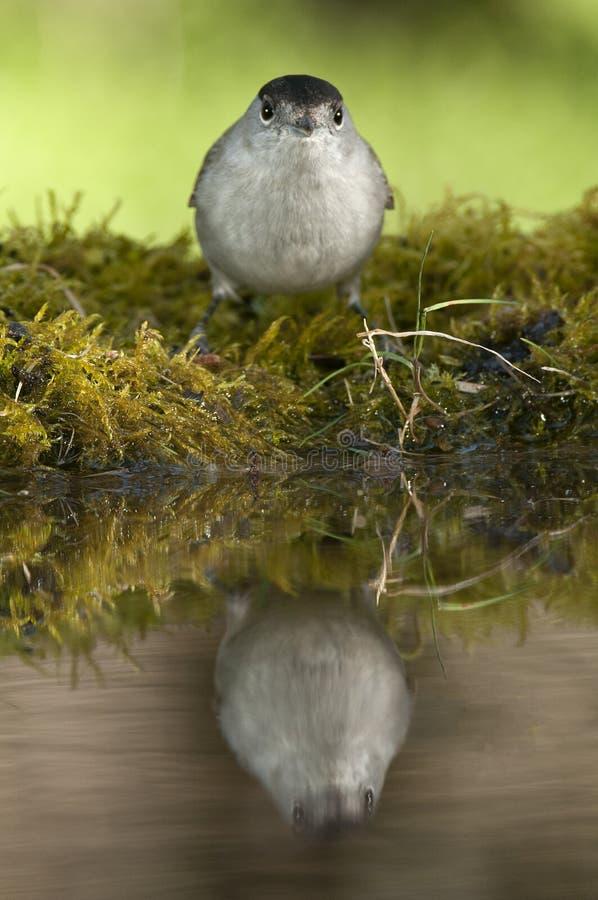 Atricapilla Сильвия Blackcap, питьевая вода со своим отражением стоковые изображения rf