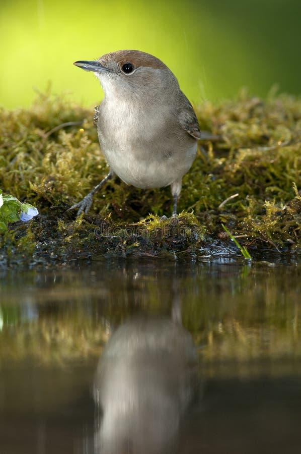 Atricapilla Сильвия Blackcap, питьевая вода со своим отражением стоковая фотография rf