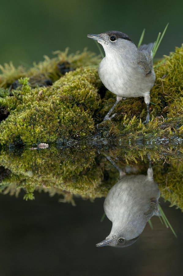 Atricapilla Сильвия Blackcap, фонтан, питьевая вода со своим отражением стоковые изображения rf