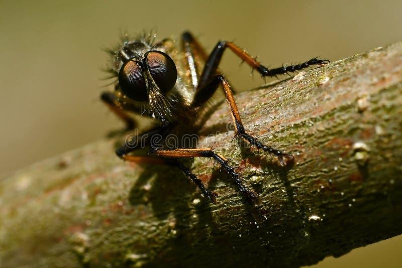 Atricapillus di Tolmerus della mosca di ladro in primo piano fotografie stock libere da diritti