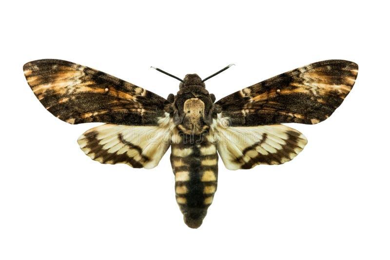 atropos Acherontia πεταλούδων που απομονώνονται στο λευκό στοκ φωτογραφία με δικαίωμα ελεύθερης χρήσης