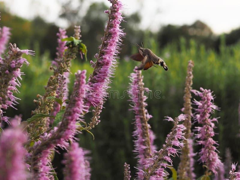 Atropos Acherontia летают и нектар питья от цветков стоковые фотографии rf