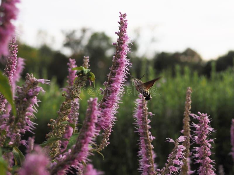 Atropos Acherontia летают и нектар питья от цветков стоковая фотография