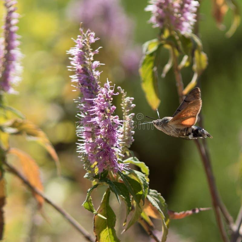 Atropos Acherontia летают и нектар питья от цветков стоковая фотография rf