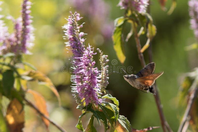 Atropos Acherontia летают и нектар питья от цветков стоковые изображения rf