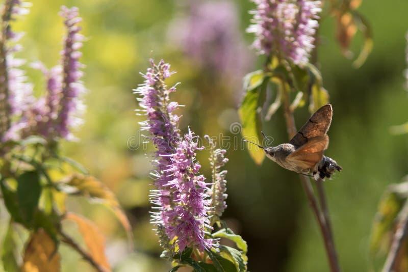 Atropos Acherontia летают и нектар питья от цветков стоковое фото