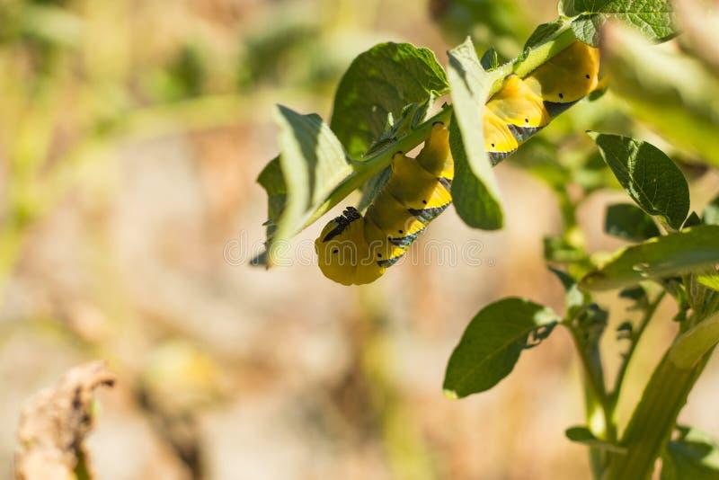 Atropos Acherontia στοκ φωτογραφίες με δικαίωμα ελεύθερης χρήσης