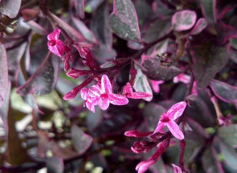 Atropurpureum Pseuderanthemum, πορφυρό ψεύτικο Eranthemum στοκ εικόνες με δικαίωμα ελεύθερης χρήσης