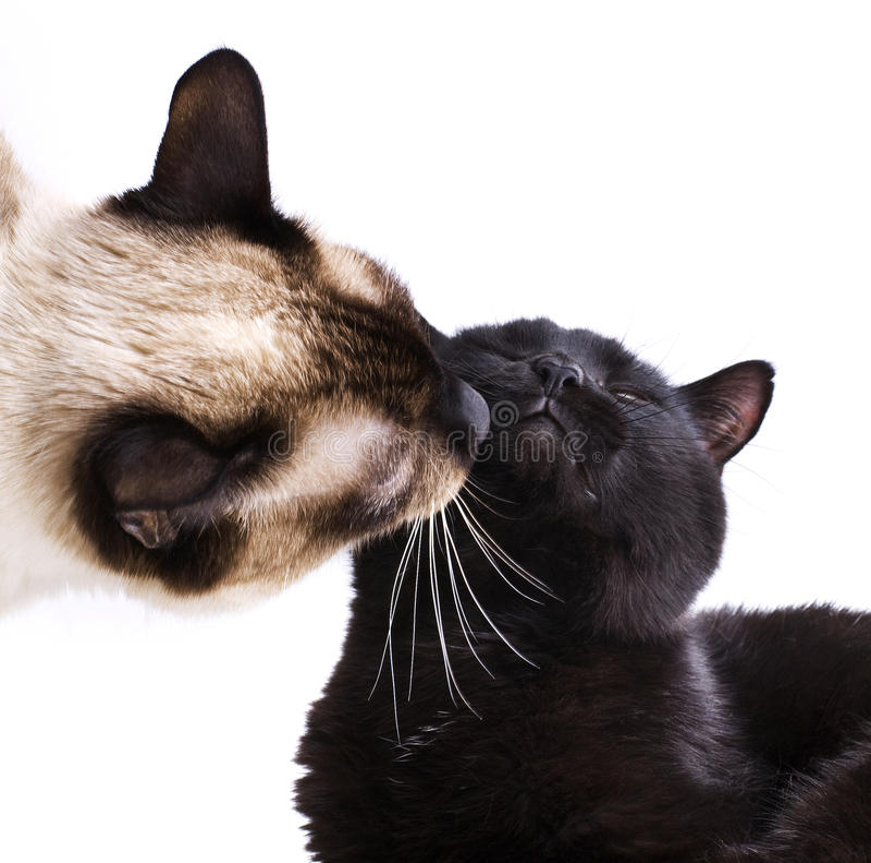 Download Сats kissing stock image. Image of miaul, pets, mammals - 18237419