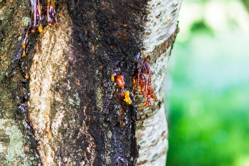 Att avsöndra för körsbärsrött träd underminerar från sår eller kräfta, processen som är bekant som gummosis arkivbild