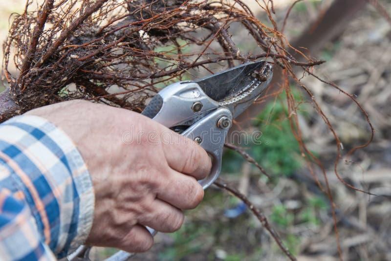 Att beskära rotar plantor, innan det planterar royaltyfri foto