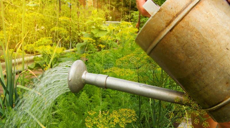 Att bevattna grönsakväxter i trädgården av en gammal metall som bevattnar kan arkivfoto