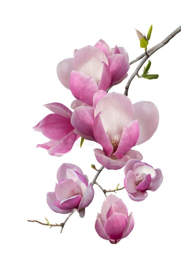 Att blomma förgrena sig av magnolia arkivfoton