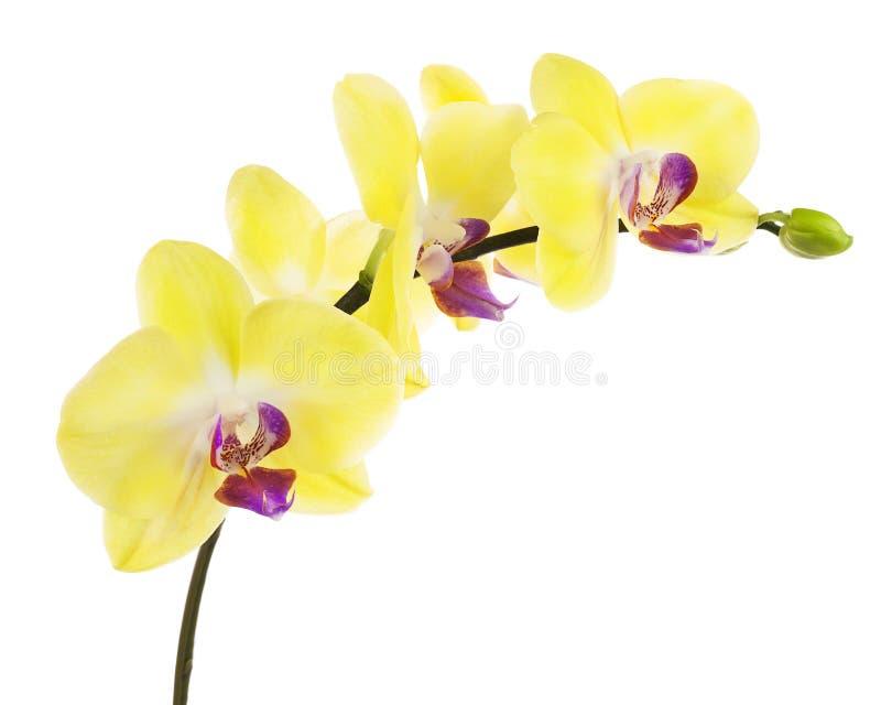 Att blomma fattar av den gula purpurfärgade orkidén som isoleras på den vita backgrouen royaltyfri fotografi