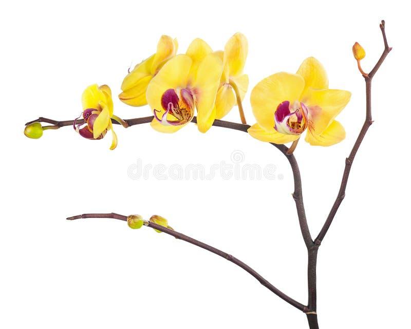 Att blomma fattar av den gula purpurfärgade orkidén som isoleras på den vita backgrouen arkivbild