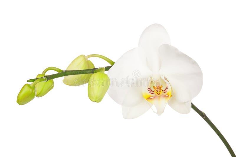 Att blomma fattar av den vita orkidén som isoleras på vit bakgrund arkivbild