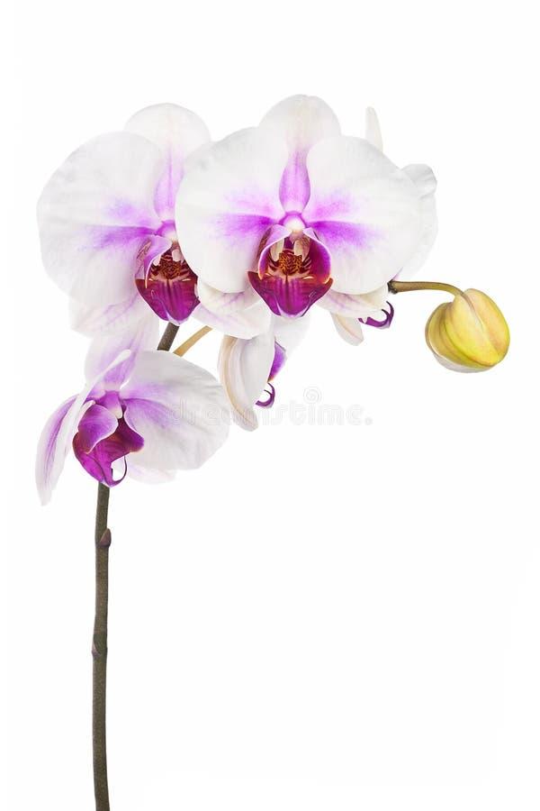 Att blomma fattar av den vita purpurfärgade orkidén som isoleras på vit backgroun arkivfoto