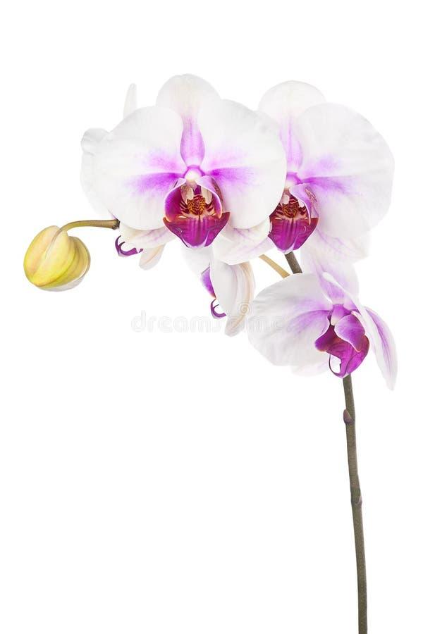 Att blomma fattar av den vita purpurfärgade orkidén som isoleras på vit backgroun arkivbild
