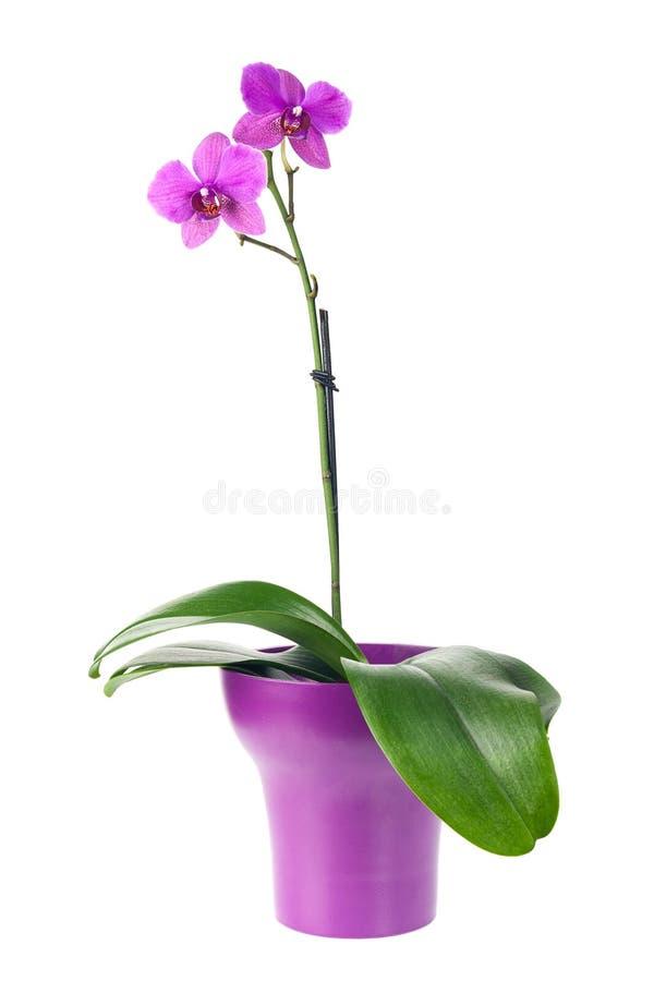 Att blomma fattar av fuchsiaorkidé i den isolerade purpurfärgade blomkrukan royaltyfria bilder