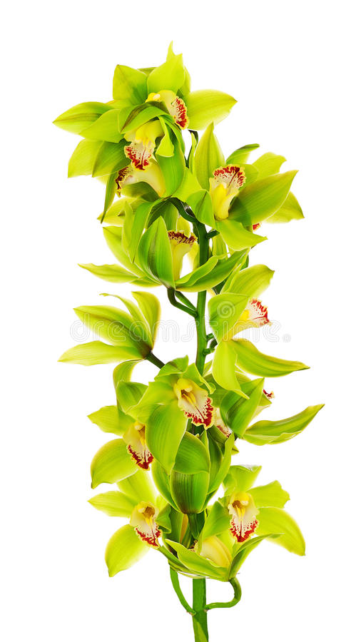 Att blomma fattar av orkidér för gräsplangulinglilor royaltyfria bilder