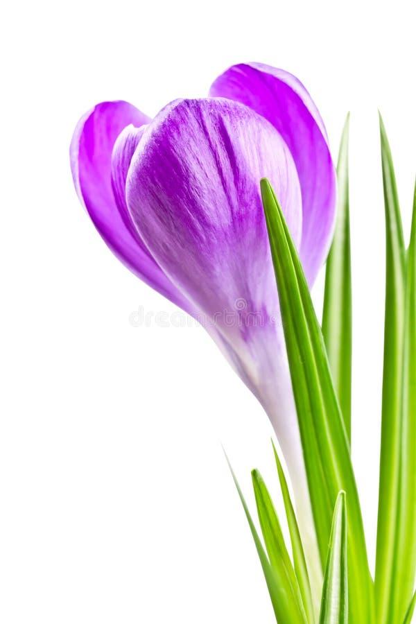 Att blomma fjädrar krokusblomman som lilan färgar arkivbild