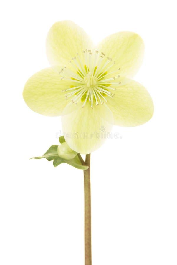 Att blomma jul steg blomman som isolerades på en vit bakgrund royaltyfri foto