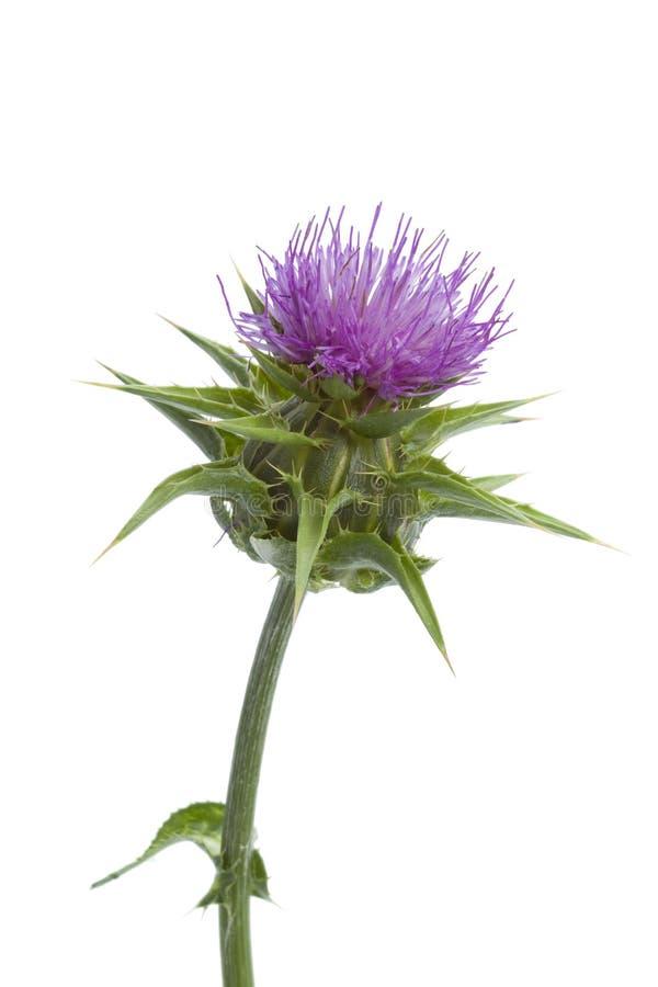 att blomma mjölkar thistlen royaltyfria bilder