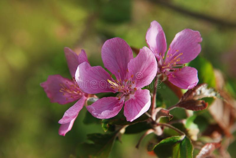Att blomma rosa färger för det Apple trädet blommar över blå himmel i våren Tid arkivfoton