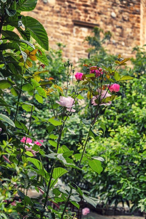 Att blomma steg busken på bakgrunden av en gammal tegelstenvägg royaltyfri bild