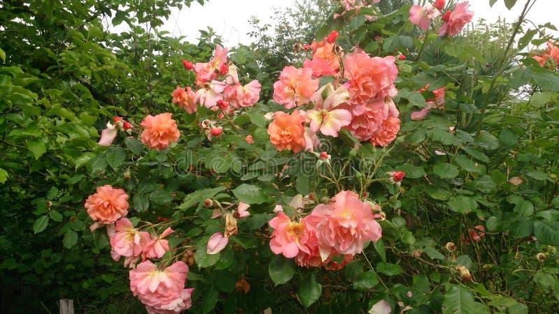 Att blomma steg i trädgården royaltyfria foton