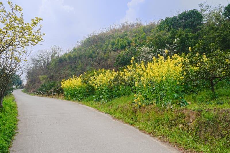 Att blomma våldtar vid bergssidacountryroad i solig vår royaltyfria bilder