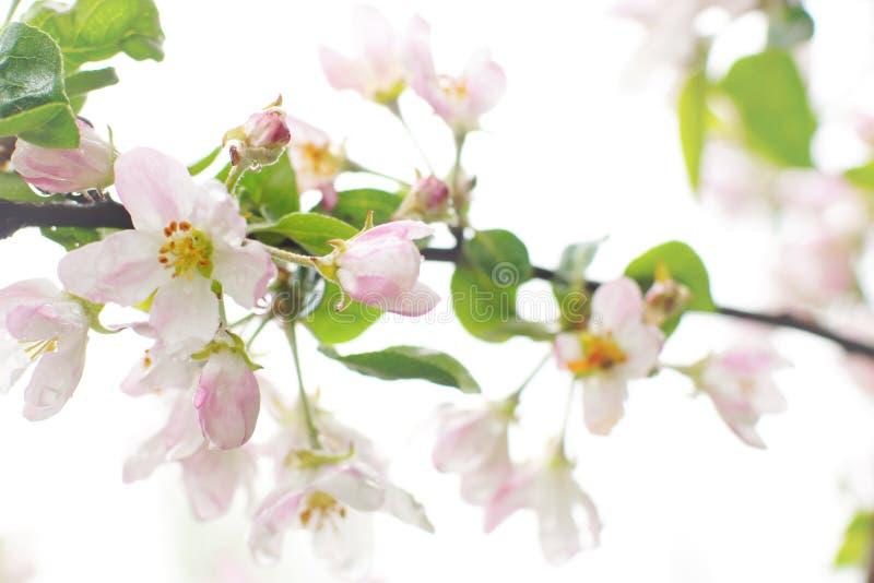 Att blomstra äppleträdet, efter regnet, rosa färg har blommat och sidor täckas med vattendroppar på en vit bakgrund royaltyfri fotografi