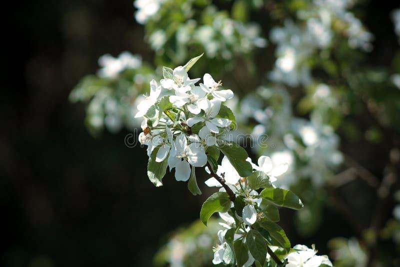 Att blomstra blommar på äppleträdet arkivfoton